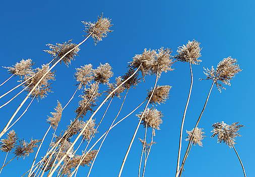 Ramunas Bruzas - Winter Reeds
