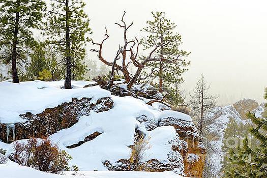 Winter Snow Rocky Cliff Fallen Pine by Robert C Paulson Jr
