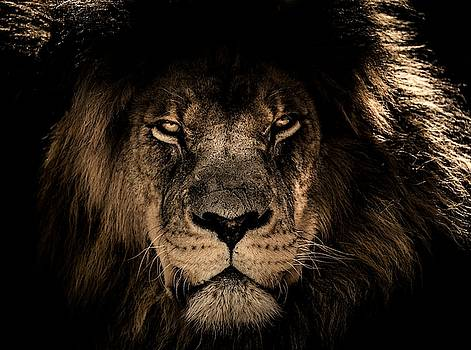 Wise lion by Top Wallpapers