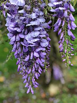 Wisteria by Betsy Cullen