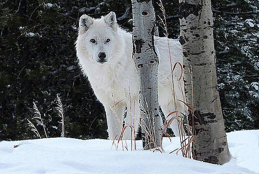 Wolf by Carol Milisen