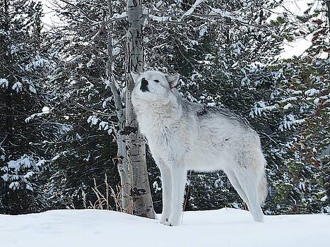 Wolf II by Carol Milisen