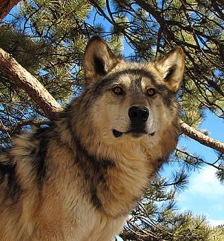 Wolf IV by Carol Milisen