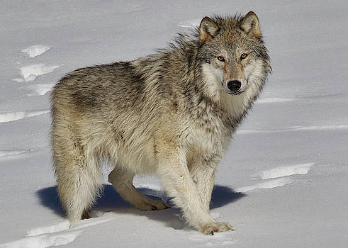 Wolf Standing by Jerry Fornarotto