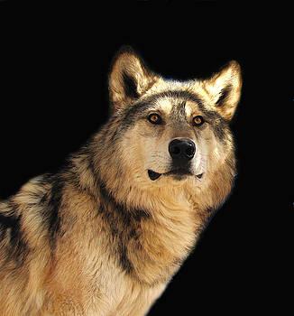 Wolf V by Carol Milisen
