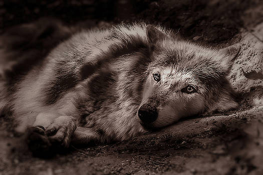 Wolfe by Christine Sponchia
