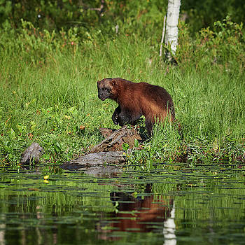 Wolverine by the lake by Jouko Lehto