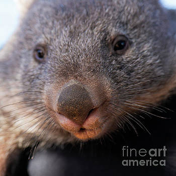 Wombat outside during the day. by Rob D