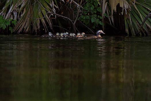 Paul Rebmann - Wood Duck and Ducklings