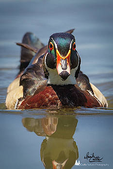 Wood Duck Face First by David Cutts