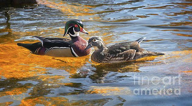 Wood Duck Pair by Susan Warren
