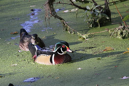 Wood Ducks by Stacey Steinberg