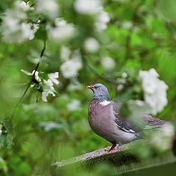 Wood pigeon and all those flowers in the rain by Jouko Lehto
