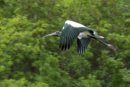 Wood Stork in Flight by Mitch Spence