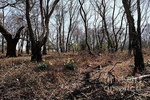 Woodland Daffodils 2 by John Chatterley
