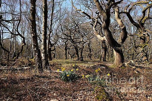 Woodland Daffodils by John Chatterley