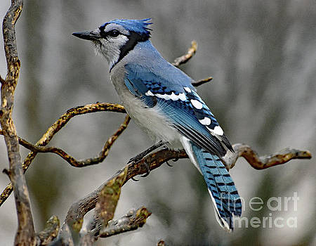 Cindy Treger - Works For Peanuts - Blue Jay
