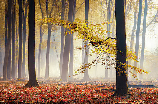 Yellow autumn leaves in foggy forest by Rob Visser