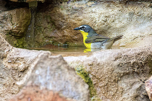 Yellow Breasted Chat Bath Time by Debra Martz