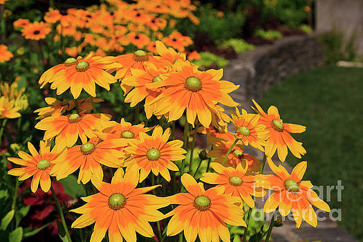 Yellow Centered Black Eyed Susans by Jill Lang