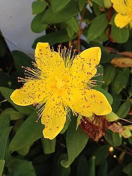 Yellow Coastal Flower by Norman Burnham