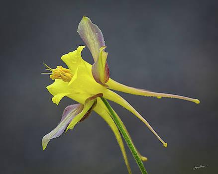 Yellow Columbine by Jurgen Lorenzen