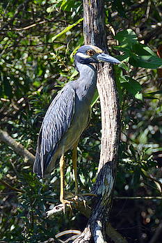 Yellow-Crowned Night Heron by Carla Parris