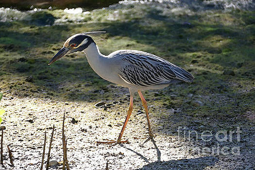 Yellow-Crowned Night Heron by Catherine Sherman
