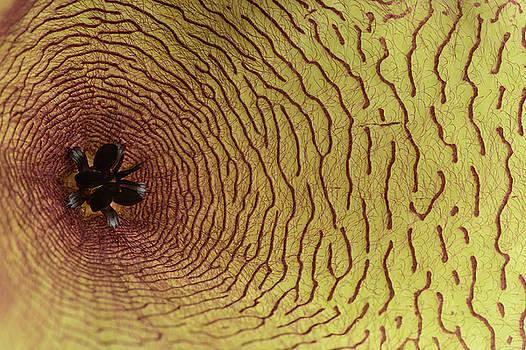 Michalakis Ppalis - Yellow Flower petal details of a stapelia gigantea succulent