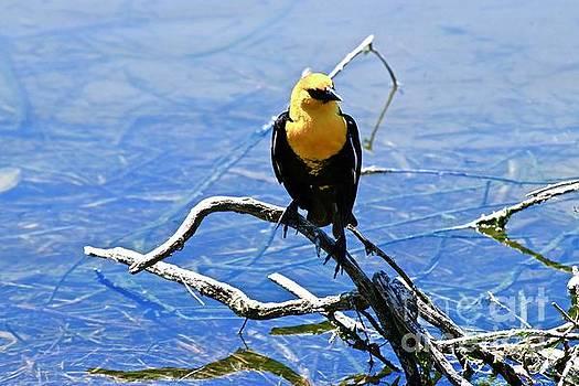 Yellow Headed Blackbird by Craig Wood