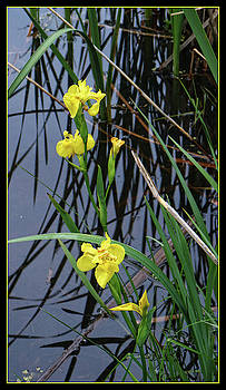 Scott Kingery - Yellow Iris