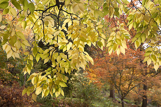 Jenny Rainbow - Yellow Leaves of American Hackberry Tree 1