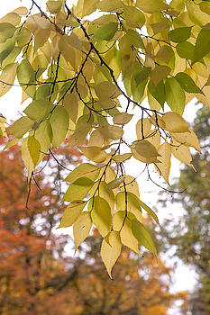 Jenny Rainbow - Yellow Leaves of American Hackberry Tree 2