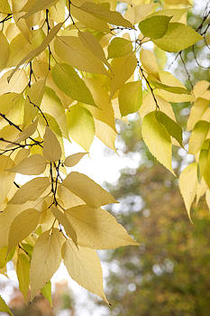 Jenny Rainbow - Yellow Leaves of American Hackberry Tree 3