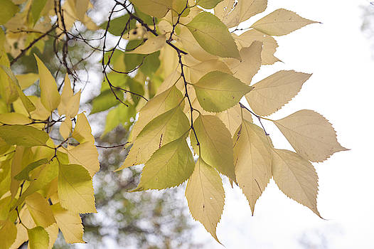 Jenny Rainbow - Yellow Leaves of American Hackberry Tree 4