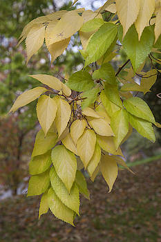 Jenny Rainbow - Yellow Leaves of American Hackberry Tree