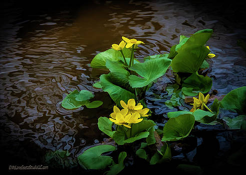 Yellow Marsh Marigolds by LeeAnn McLaneGoetz McLaneGoetzStudioLLCcom