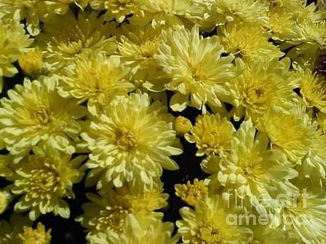 Yellow Mums by Joanna Payne
