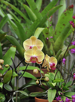 Yellow Orchid Plant by Savannah Gibbs