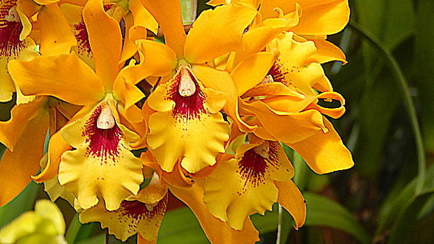 Arlane Crump - Yellow Orchids