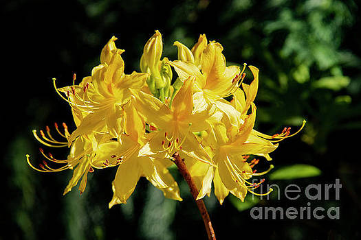 Yellow Rhododendron Bloom by Bob Phillips