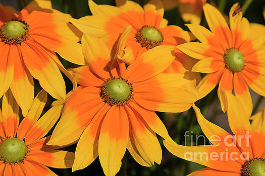 Yellow Rudbeckia Flowers Blooming by Jill Lang