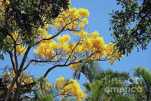 Yellow Shower Tree - Hawaii by D Davila