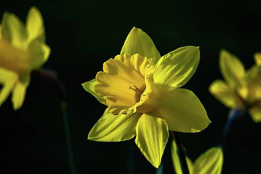Yellow Spring Daffodils by Dave Matchett