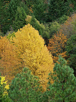 Yellow Tree Against Forest Background by David Crockett