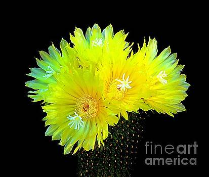 Yellow Tube Cactus by Stacey Brooks