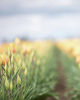 Yellow Tulip Field 3 by Rebecca Cozart
