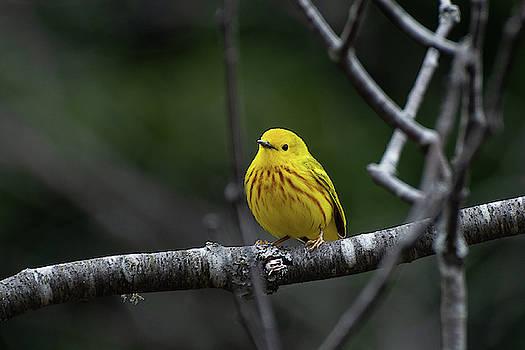 Yellow Warbler 1 by Su Buehler