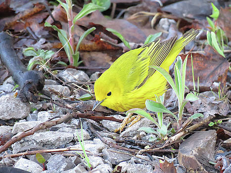 Yellow Warbler by Alison Gimpel