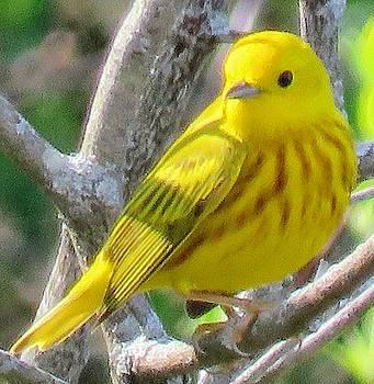 Yellow Warbler by David Bannwart